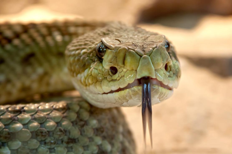 rattlesnake-653642_1920.jpg